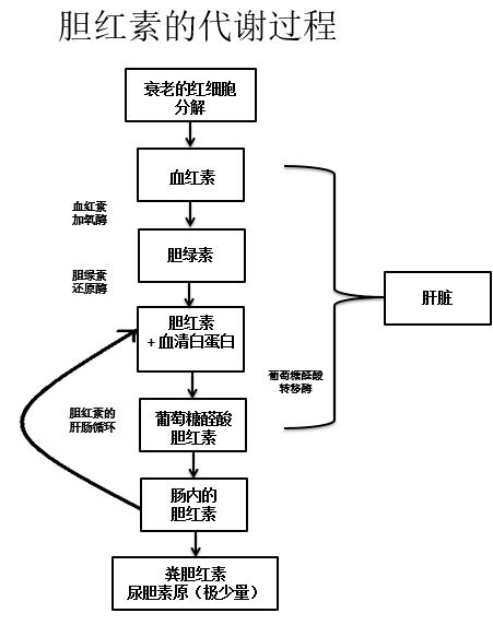 Formation of bilirubin